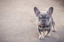 Curious French Bulldog Puppy S...