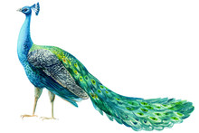 Peacock Bird On A White Backgr...