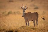 Fototapeta Sawanna - Eland stands on grassy plain eyeing camera