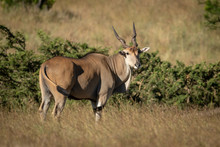 Eland Stands Turning Head In L...