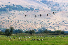 Migratory Birds In The Hula National Bird Sanctuary Located In The Hula Valley (Upper Galilee) In Israel
