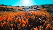 Bright Orange California Pobby (Eschscholzia) In The Antelope Valley, California, USA