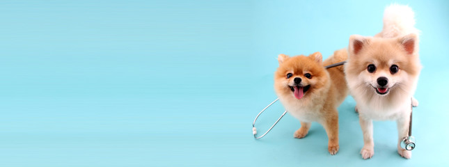 Cute little pomeranian dog with stethoscope as veterinarian on blue backgroun...