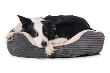 Border Collie Dog Lying In A D...