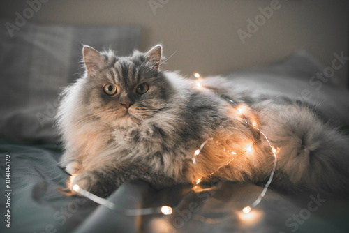 Funny, fluffy gray cat plays with lights in bed. Close-up photo of a cat with Christmas lights in bed. Pet, cat plays in bed. - 304047179
