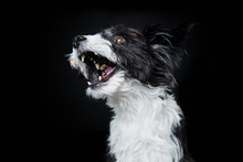 Chinese Crested Powderpuff Dog...