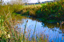 Reed In The Bank Of A River