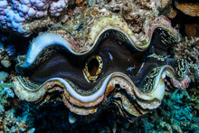Giant Clam Fish At The Red Sea...