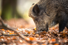Wild Boar Or Sus Scrofa, Also...