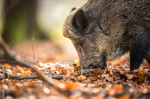 Tela Wild Boar Or Sus Scrofa, Also Known As The Wild Swine, Eurasian Wild Pig