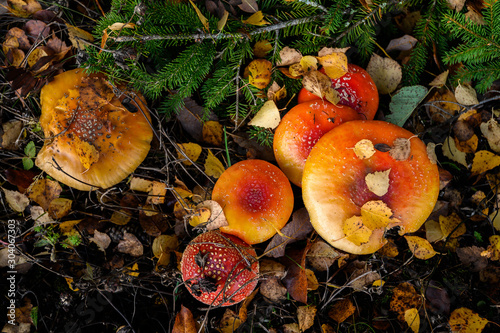red agaric fly mushrooms on a tree in the forest Wallpaper Mural