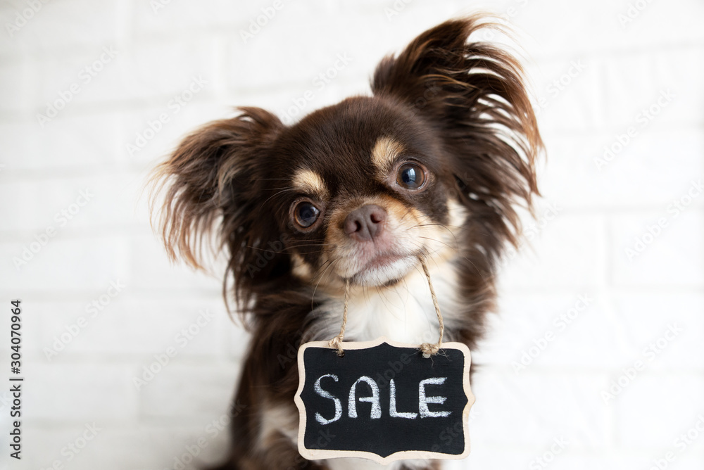 chihuahua dog holding sale banner in mouth