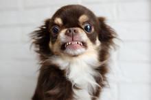 Aggressive Chihuahua Dog Snarl...