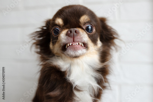 aggressive chihuahua dog snarling and looking angry Canvas Print