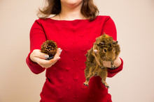 Funny Brown Guinea Pig And Fir Cone In Woman's Hand