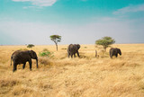 Fototapeta Sawanna - Many African elephants in the savannah are searching for food.