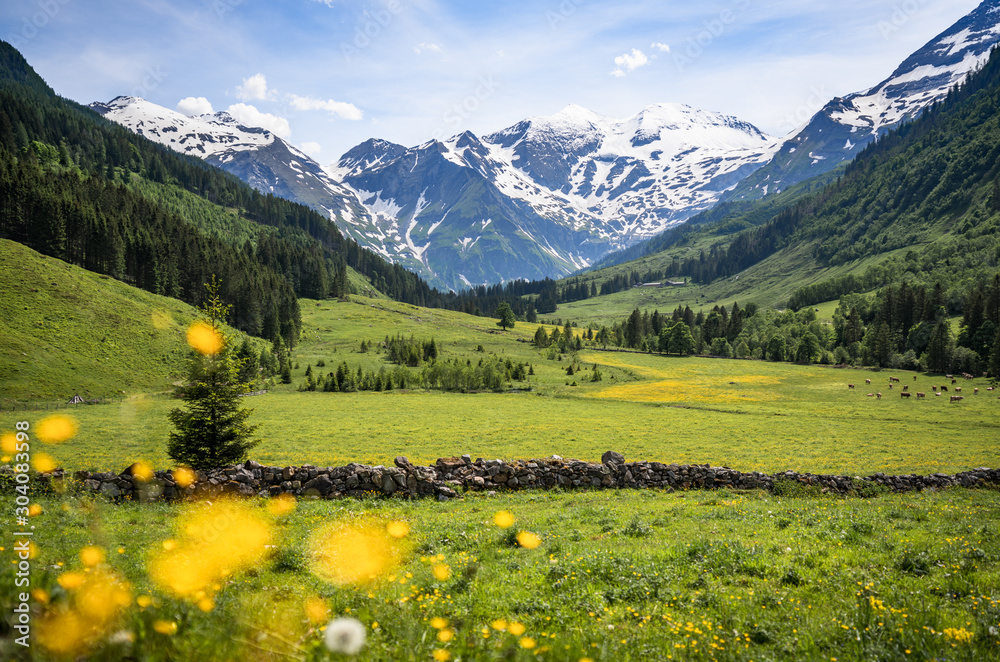 Fototapeta Beautiful panoramic view of rural alpine landscape with cows grazing in fresh green meadows neath snowcapped mountain tops on a sunny day in spring, National Park Hohe Tauern, Salzburger Land, Austria
