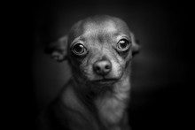 Sad Dog Chihuahua Breed On A B...