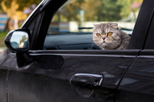 Cat Looks Out Of The Car Window. Traveling With A Pet