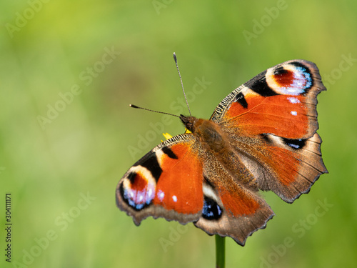Fotografie, Tablou  A peacick butterfly sitting on a flower on a sunny day in summer