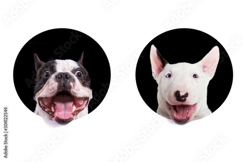 Foto auf Leinwand Französisch bulldog French bulldog and bullterier muzzles looking from the holes of white background