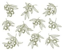Olive Branches Sketch, Extra Virgin Olives