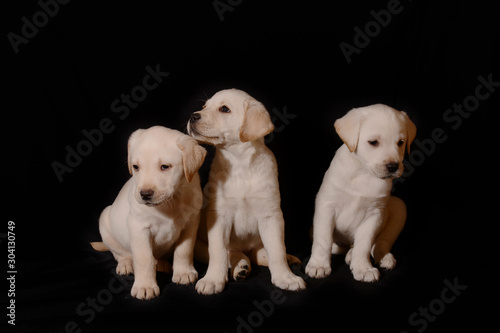 Fototapety, obrazy:  Labrador puppies cute friends sitting isolated on black background