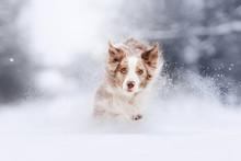Happy Border Collie Dog Runnin...