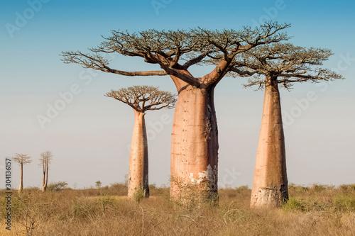 Beautiful Madagascar Baobab. Madagascar. Africa Poster Mural XXL