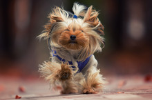 Dog Yorkshire Terrier Runs Fast