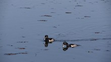 Ring-necked Ducks Dive