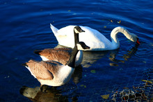 View Of A Mute Swan With White...
