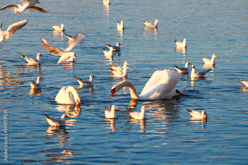 Two swans in the middle of a group of seagulls on the water Canvas Print