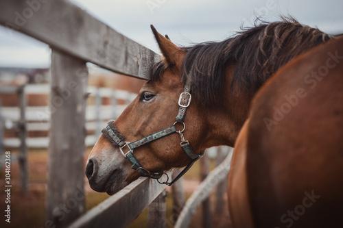 Obraz Piękny koń wałachowy o niebieskich oczach w kantar w padoku w pobliżu ogrodzenia - fototapety do salonu
