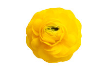 Yellow Buttercup Flower Isolated