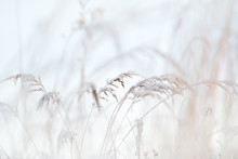 Frost Covered Grasses In Winte...