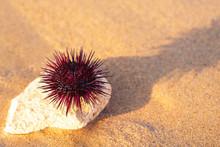 Sea Urchin On Wet Sea Sand On The Seashore Selective Focus