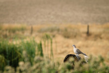 Dove On A Log