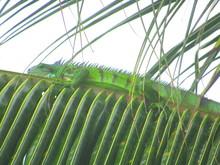 Un Iguane Vert Allongé Sur Un...