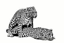 Couple Leopard