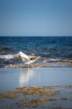 Snowy Egret (Egretta Thula), A Small White Heron, Taking Off. Alicante, Spain