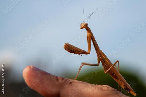Fototapeta  praying mantis on a black background
