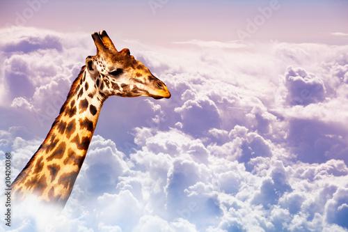 Obraz na plátně  Very tall neck of giraffe over sky in the clouds