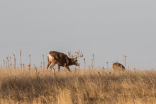 Whitetail Deer Buck During The Fall Rut