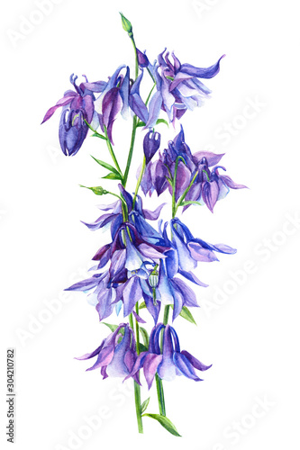 Photo bouquet of Aquilegia, purple flowers, on isolated white background, watercolor i