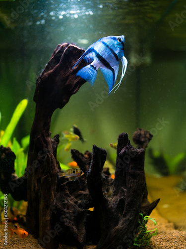 Blue angelfish swimming in a comunitary tropical aquarium Wallpaper Mural