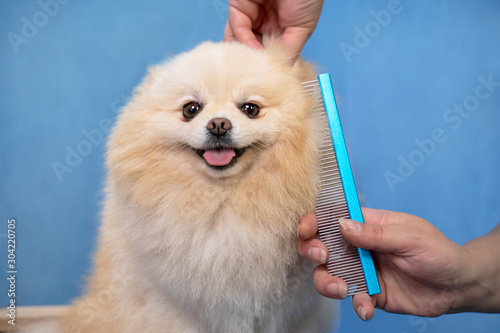 Fotomural groomer makes a spitz breed haircut with comb in grooming salon.