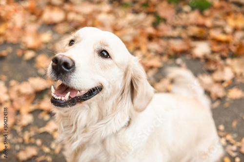 Obraz Cute retriever dog in autumn park - fototapety do salonu