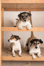 Cute Three Small Purebred Crazy Jack Russell Terrier Dogs Lie Well Behaved In A Shelf