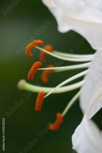 The isolated stamen of a lily against a green background. Fototapet